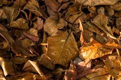 Лист миндалины осени индийские Стоковое фото RF