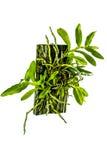Лист орхидеи на древесине. Стоковые Фото