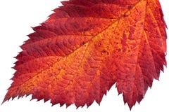 Лист осени ежевики стоковое изображение