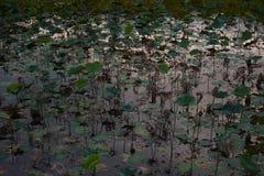 Лист лотоса в пруде Стоковое фото RF