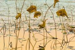 Лист лотоса в реке стоковая фотография rf