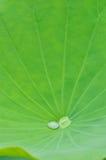Лист лотоса с падением воды Стоковые Изображения