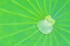 Лист лотоса с падением воды Стоковые Изображения RF
