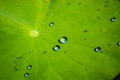 Лист лотоса с падением воды Стоковая Фотография RF