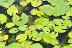 Лист лотоса Стоковая Фотография RF
