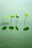 Лист лотоса Стоковое Фото