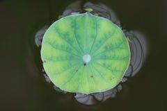 Лист лотоса Стоковое Изображение