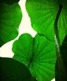 Лист лотоса Стоковая Фотография