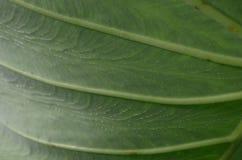 Лист лотоса Стоковые Изображения RF
