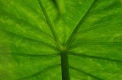 Лист лотоса Стоковое Изображение RF