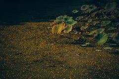 Лист лотоса Стоковое фото RF