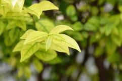 Лист одичалой сливы воды изменили цвет в саде Стоковая Фотография