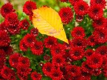 Лист падения на красных цветках Стоковая Фотография