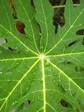 Лист папапайи влажны стоковое изображение rf