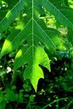 Лист папапайи стоковое изображение rf