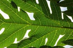 Лист папапайи стоковые изображения
