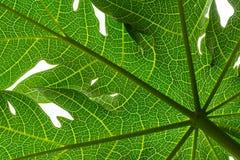 Лист папапайи стоковое фото