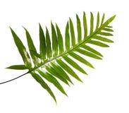 Лист папоротника бородавочки, орнаментальная листва, папоротник изолированный на белой предпосылке, с путем клиппирования Стоковая Фотография