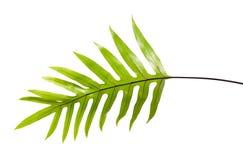 Лист папоротника бородавочки, орнаментальная листва, папоротник изолированный на белой предпосылке, с путем клиппирования Стоковое Изображение RF