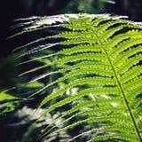 Лист папоротника в древесинах Общий папоротник-орляк Летнее время Стоковые Изображения