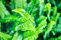 Лист папоротника крупного плана зеленые в саде Стоковые Фотографии RF