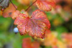 Лист падения вверх закрывают с дождевыми каплями Стоковые Фото