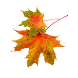 Лист падения 2 кленового листа изолированного на белой предпосылке Стоковое Изображение