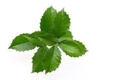 Лист падуба стоковое изображение rf
