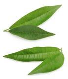 Лист персика изолированные на белой предпосылке Стоковая Фотография