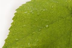 лист природы Стоковая Фотография