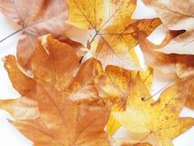 Лист плоского дерева Стоковые Изображения