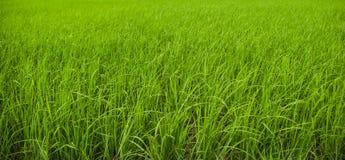 Лист риса Стоковая Фотография RF