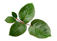 Лист розы зеленого цвета Стоковые Изображения RF
