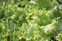 Лист свежего Lactuca sativa. Стоковые Изображения