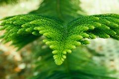 Лист сосны Стоковое Фото