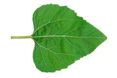 Лист солнцецвета Стоковая Фотография RF
