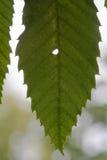 Лист сладостного каштана (Castanea sativa) Стоковые Изображения