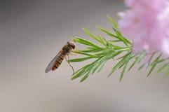 Лист с пчелой Стоковая Фотография