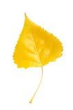 Лист тополя Стоковые Фотографии RF