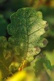 Лист дуба осени на ветви Стоковое фото RF