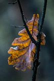 Лист дуба Стоковое Изображение