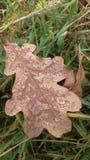 Лист дуба Стоковые Фото