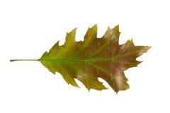 Лист дуба Стоковые Фотографии RF