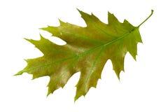 Лист дуба Стоковые Изображения