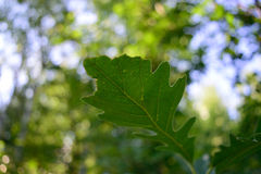 Лист дуба Bur поздним летом (macrocarpa Quercus) Стоковое Фото