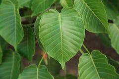 Лист формы сердца, pipal листья на дереве Стоковые Изображения RF
