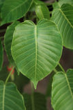 Лист формы сердца, pipal листья на дереве Стоковые Фото