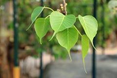 Лист формы сердца, pipal листья на дереве Bodhi в буддийском виске Стоковое Фото