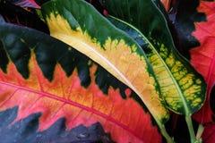 Лист цвета Codiaeum Стоковое Изображение