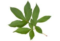 Лист цветка пиона на белизне Стоковая Фотография